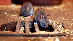 موش دوانی در منطقه ۳ کرج