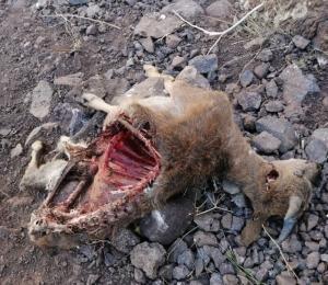 شیوع بیماری طاعون نشخوارکنندگان کوچک در منطقه شکار ممنوع طالقان