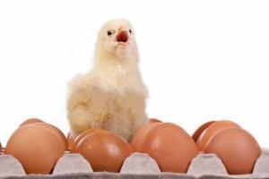 کمبودجوجه یک روزه تخمگذار درزمستان گذشته عامل اصلی گرانی تخم مرغ