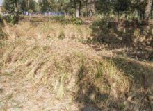 برداشت برنج به روش سنتی در پارک ایران کوچک