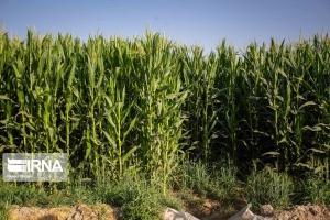 برداشت ذرت علوفه ای از ۷۰۰ هکتار مزارع  چهارباغ آغاز شد